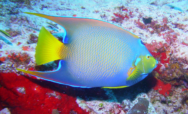 Angelfish dream meaning for Fish dream meaning
